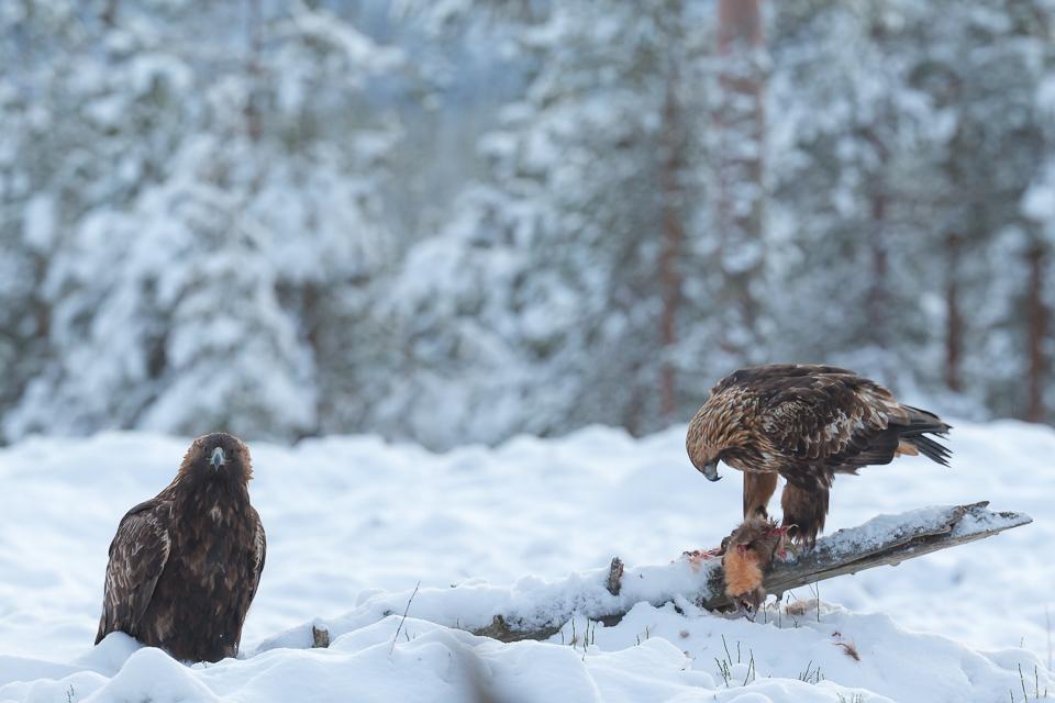 Golden Eagles in Kuusamo